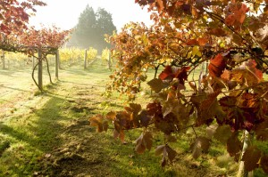 Highdown Vineyard - Autumn