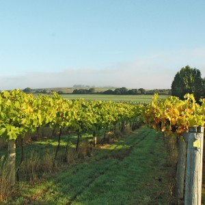 Highdown Vineyard - Vineyard